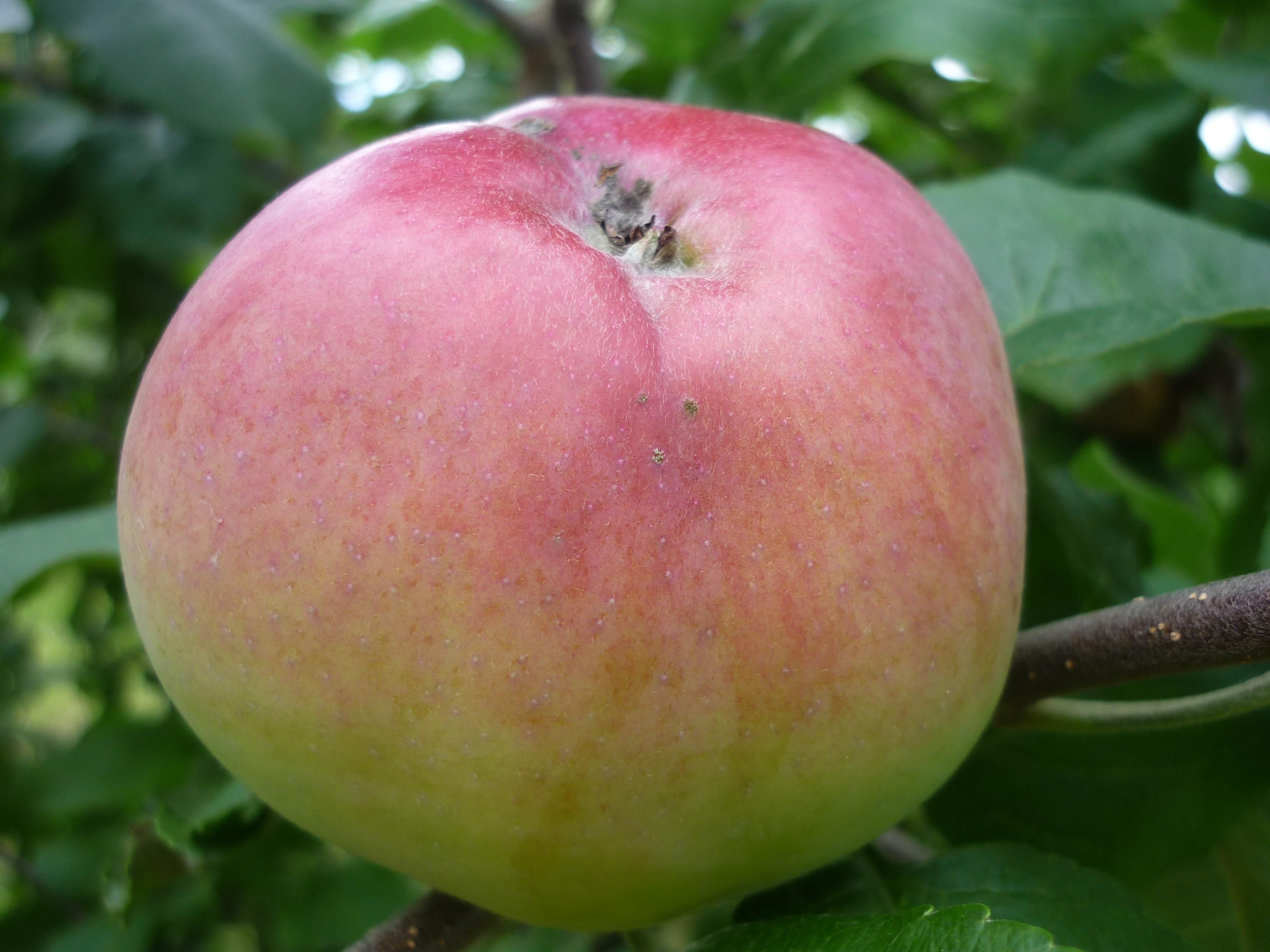 Яблоня вишневое: топ отзывы, секреты посадки и ухода, фото