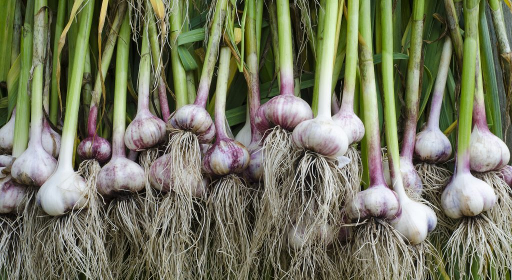 Семена чеснока - бульбочки: что это такое, как посадить обычной сеялкой и вырастить хороший урожай, сколько в 1 кг содержится воздушки, фото русский фермер