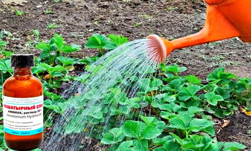 Применение нашатырного спирта для сада и огорода: подкормка растений и борьба с вредителями