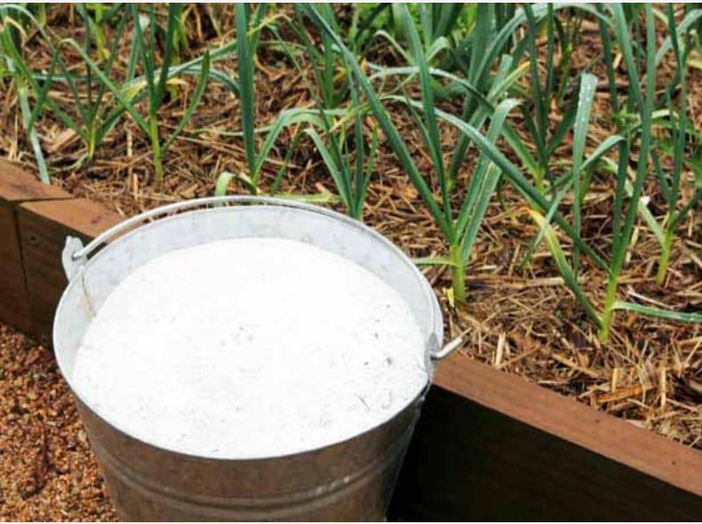 Зола как удобрение для лука, как применять в 2021 году