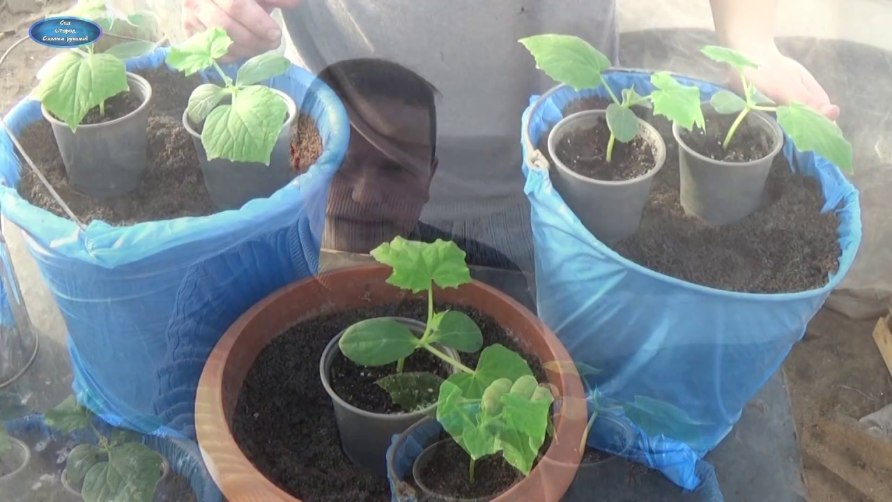 Комнатные огурцы: как вырастить сочные и хрустящие плоды на подоконнике