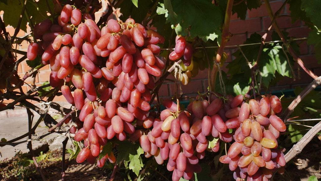 Виноград кардинал: характеристика и описание сорта, посадка и уход