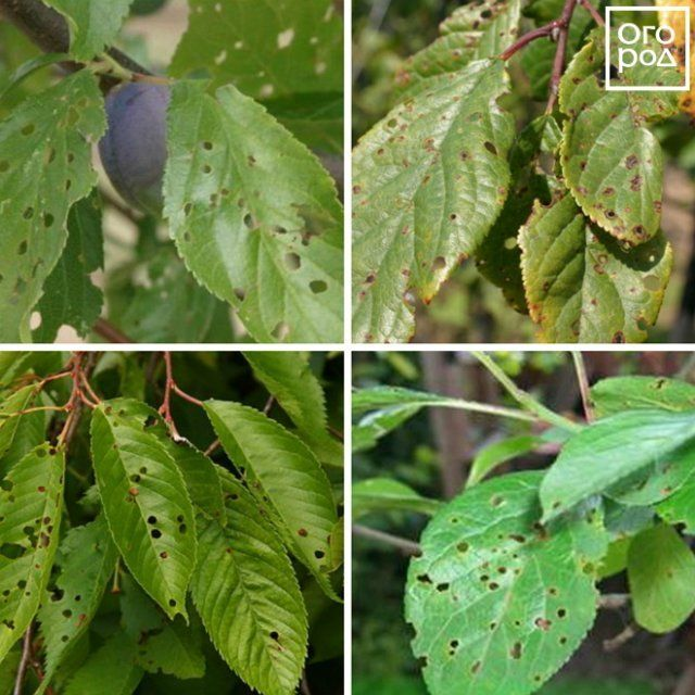 Как лечить болезни абрикосовых деревьев и защитить сад от вредителей - секреты садоводов