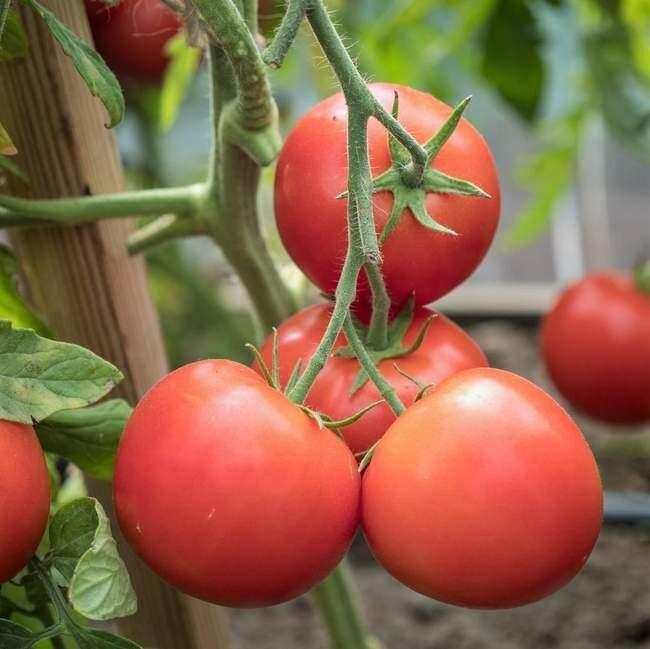 Томат вермилион: характеристика и описание сорта, отзывы садоводов с фото