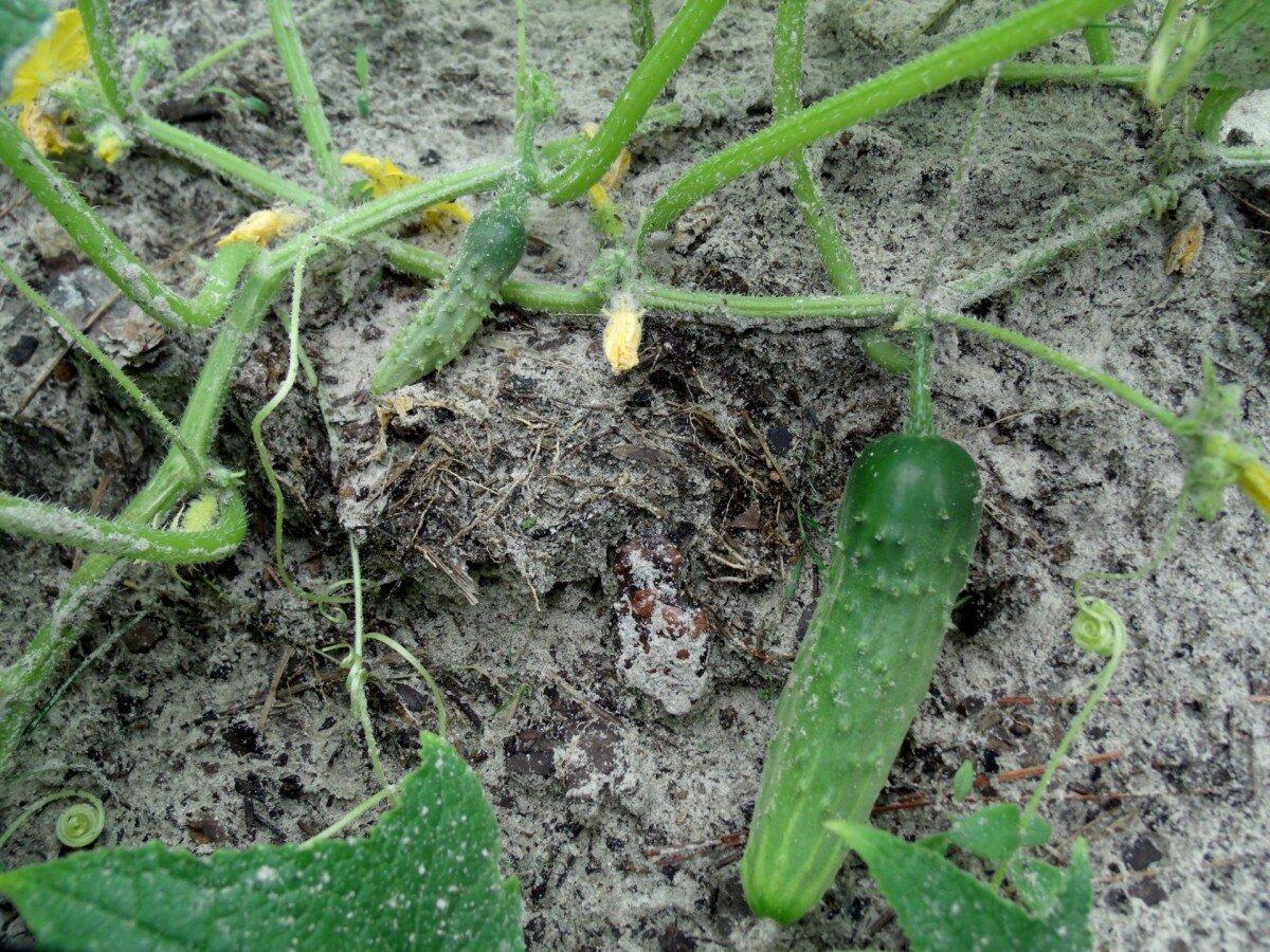 Патиссоны — выращивание и уход в открытом грунте