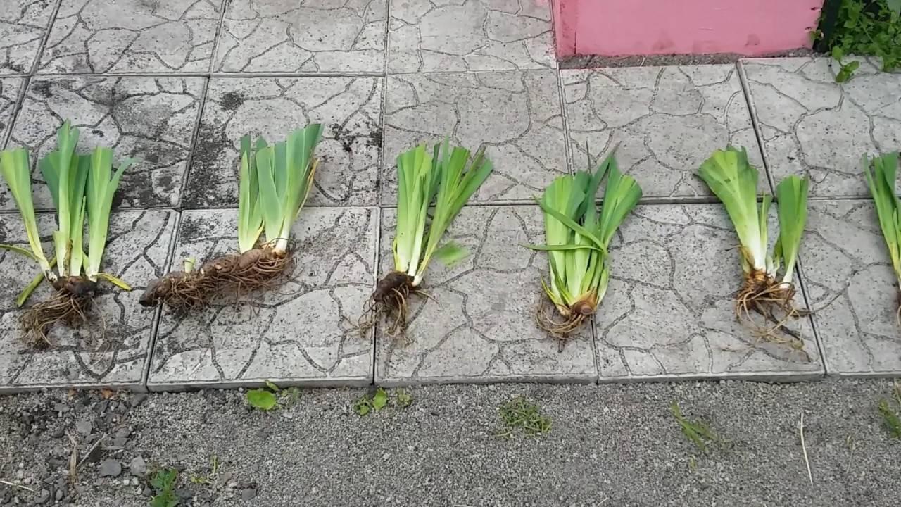 Когда можно весной пересаживать ирисы на новое место