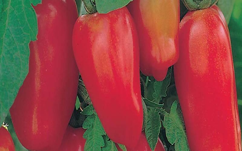Сорт помидор сан марцано фото