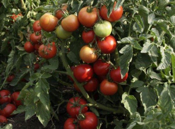 Раннеспелый томат мечта огородника: особенности сорта