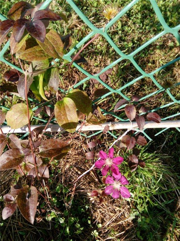 Как заставить клематис пышно цвести