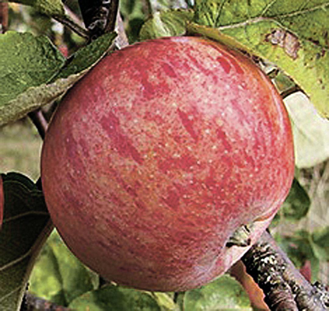 Яблоня коричное новое: описание сорта и его фото, особенности и характеристики selo.guru — интернет портал о сельском хозяйстве