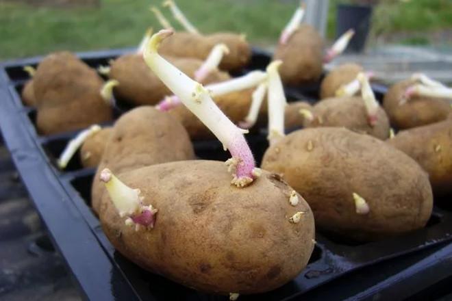 Подготовка картофеля к посадке весной - важные моменты