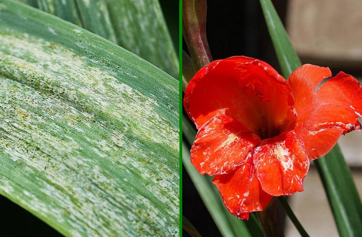 Почему не цветут гладиолусы - agroflora.ru