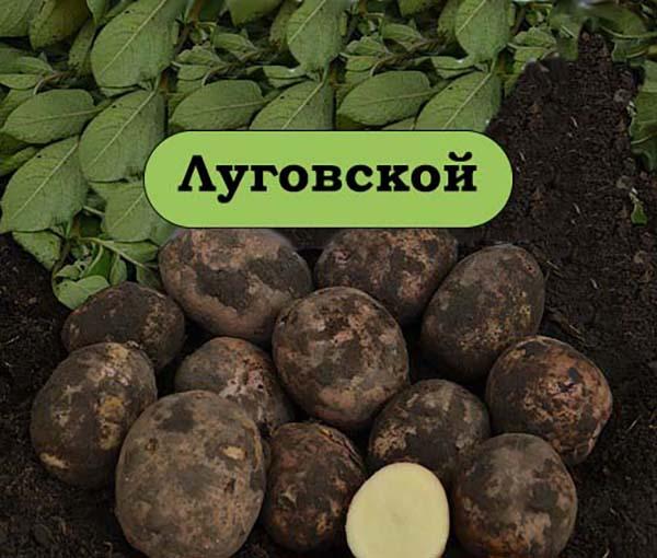 ᐉ сорт картофеля «луговской» – описание и фото - roza-zanoza.ru