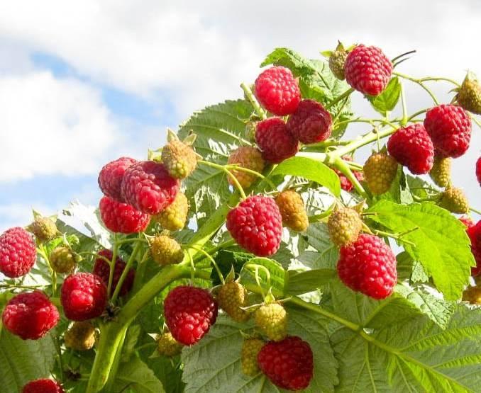 Малина бабье лето: описание, фото, отзывы и нюансы выращивания ремонтантного сорта