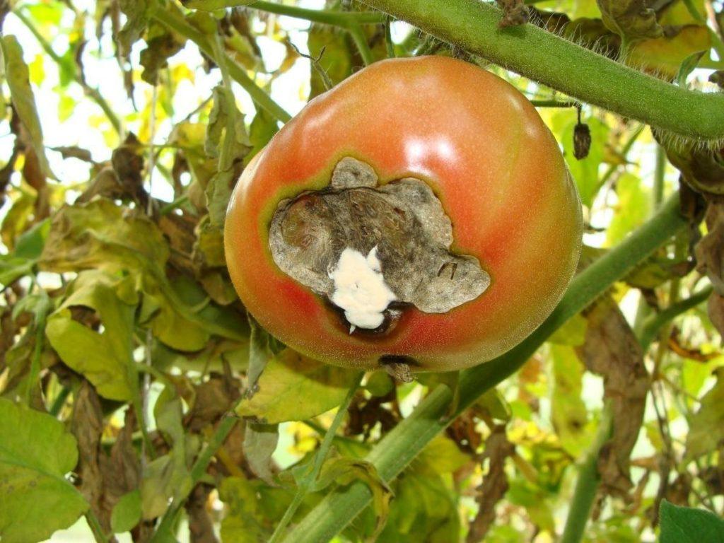 Вершинная гниль на помидорах: лечение и меры профилактики