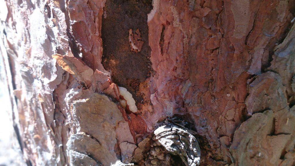 Жук-короед на деревьях: как избавиться (препараты и средства борьбы с короедом и личинками), фото