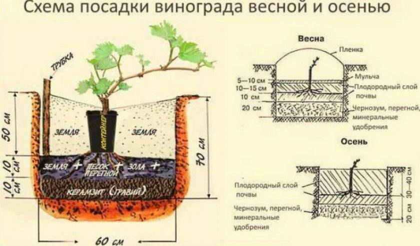 Выращивание винограда: советы новичкам и фото на supersadovnik.ru