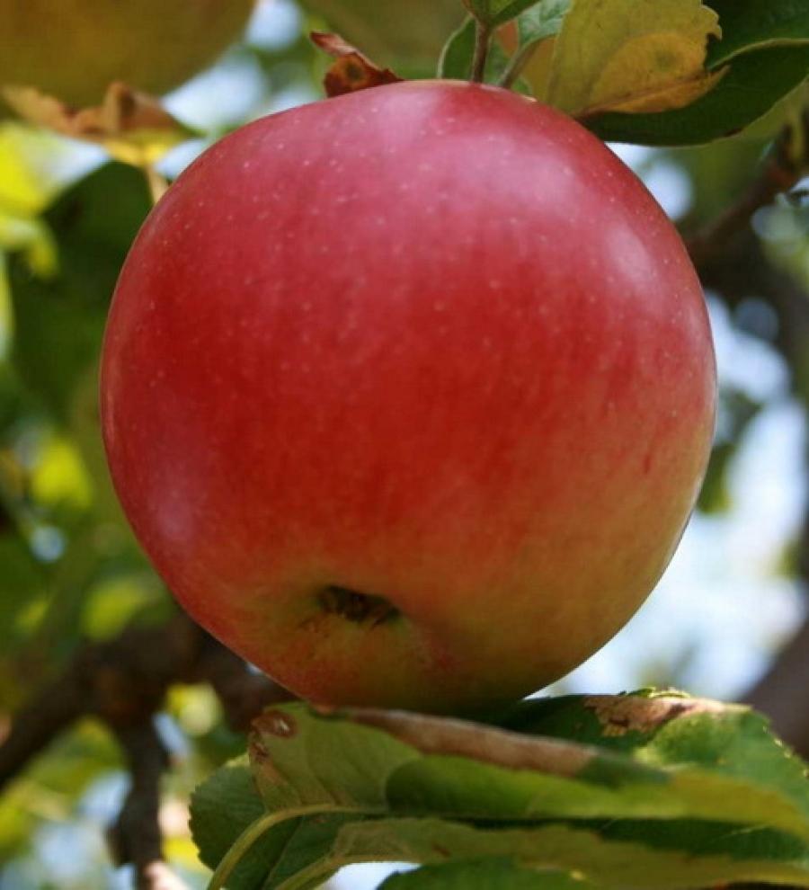 Описание сорта яблони винное: фото яблок, важные характеристики, урожайность с дерева