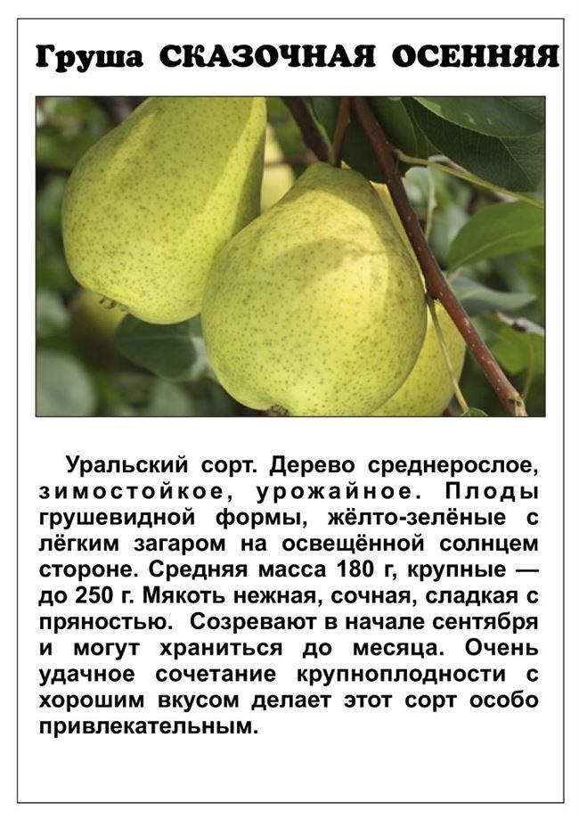 Сорта груш: самые сладкие и сочные виды, их описание