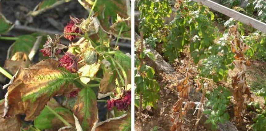 Почему сохнет малина - листья и ягоды: болезни и вредители, особенности ухода - etocvetochki.com