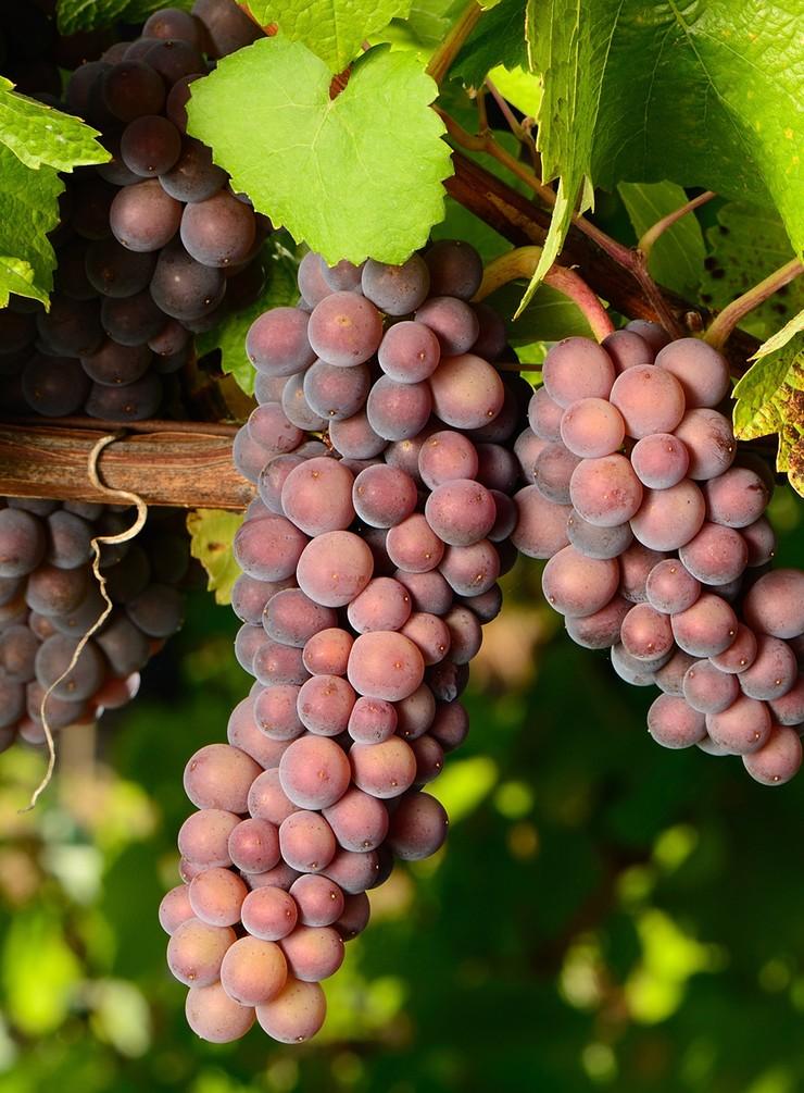 Описание и характеристика винограда сорта пино гриджио, плюсы и минусы, выращивание