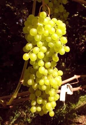 ✅ виноград русбол фото. сорт винограда русбол: легкий уход и отличный урожай - живой-сад.рф