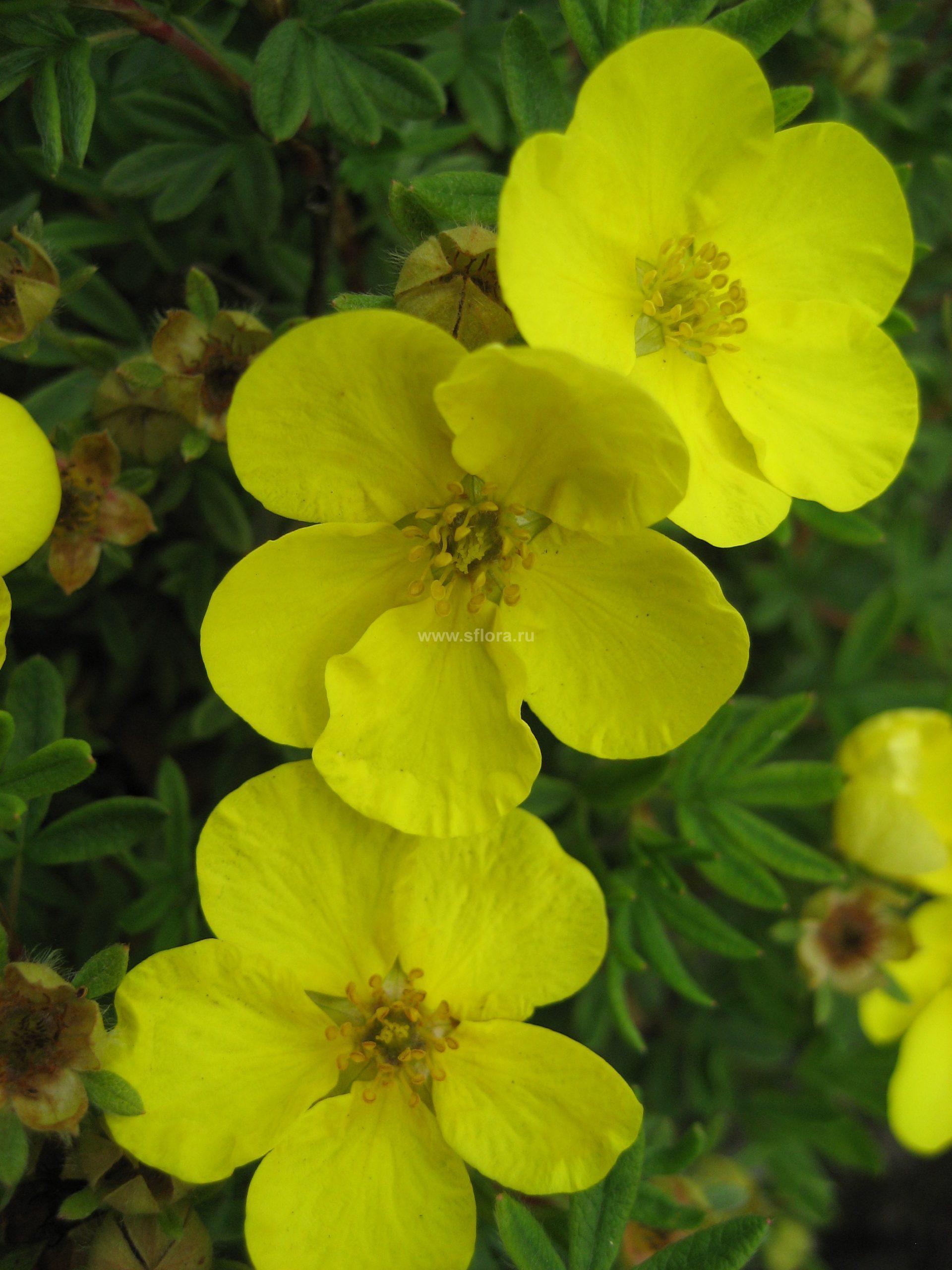 Травянистая лапчатка (43 фото): посадка и уход за многолетней лапчаткой, сорта и виды с описанием