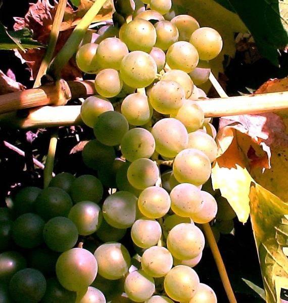 Виноград «бианка» описание технического винного сорта