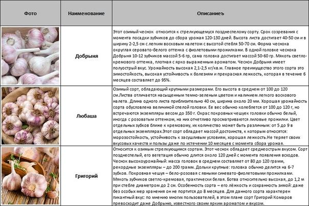 Чеснок «любаша»: особенности сорта и выращивание