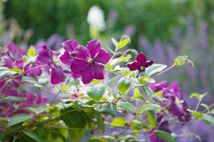 Выращивание крупноцветкового клематиса «полиш спирит» (polish spirit)