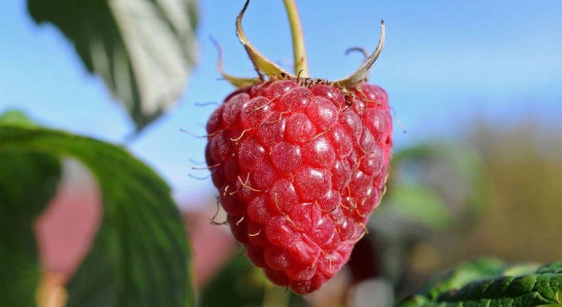 Малина журавлик: описание сорта и характеристики, выращивание и размножение