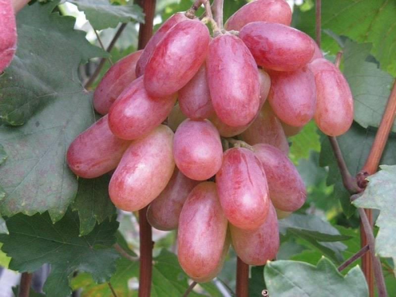 Виноград рубиновый юбилей: краткое описание сорта, основные характеристики, рекомендации по уходу