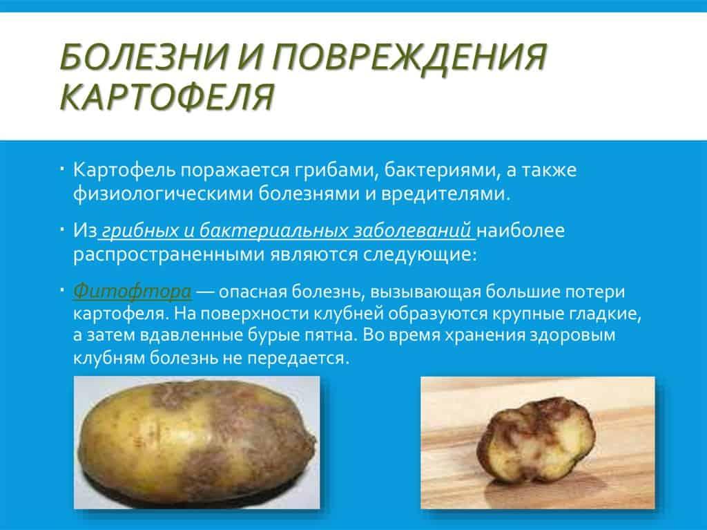 Фузариоз и мучнистая роса картофеля: симптомы и методы борьбы