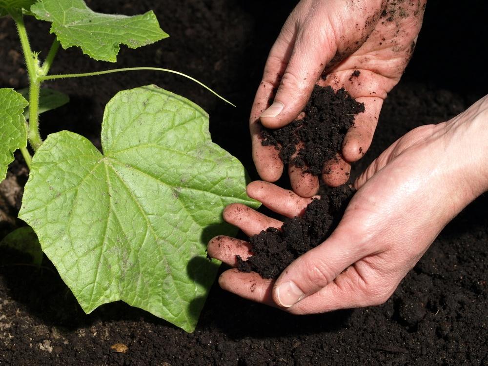 Чем подкормить огурцы после высадки в грунт - полив рассады после посадки