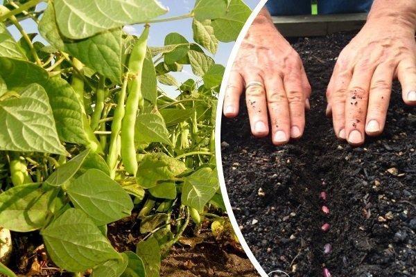 Когда и как сажать фасоль весной в открытый грунт: обработка, посадка, уход