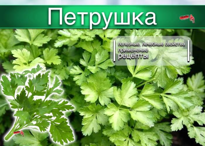 Петрушка: особенности видов и приминение   огородники