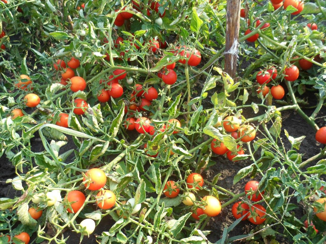 Описание сорта помидоров «ирина»