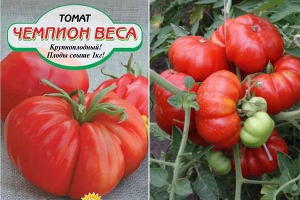 Характеристика и описание сорта томата эм чемпион, урожайность – дачные дела