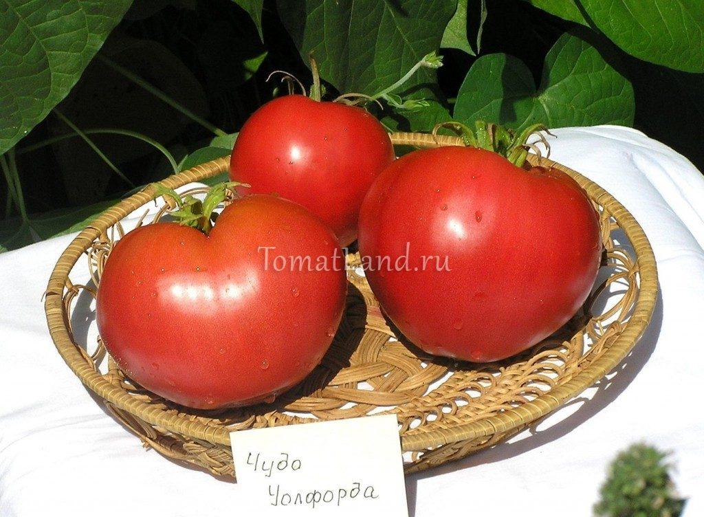 Томат чудо уолфорда: отзывы, фото, урожайность | tomatland.ru