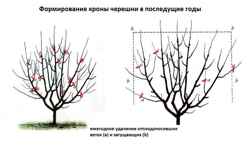 Как формировать калину как дерево?
