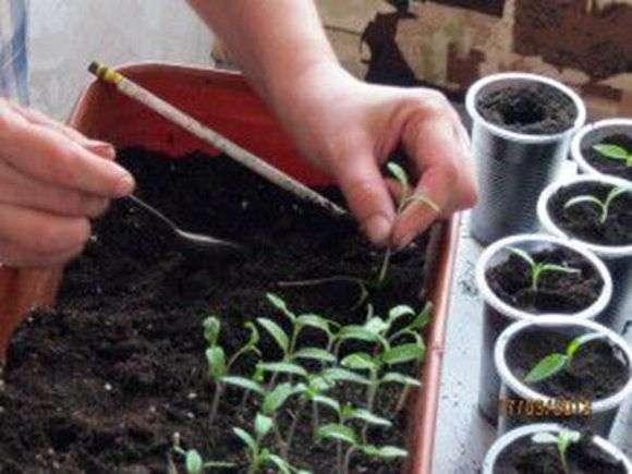 Пикировка рассады томатов: сроки и правила пересадки