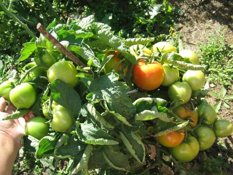 Томат санька: выращивание сорта и уход, описание и характеристика помидоров, пасынкование