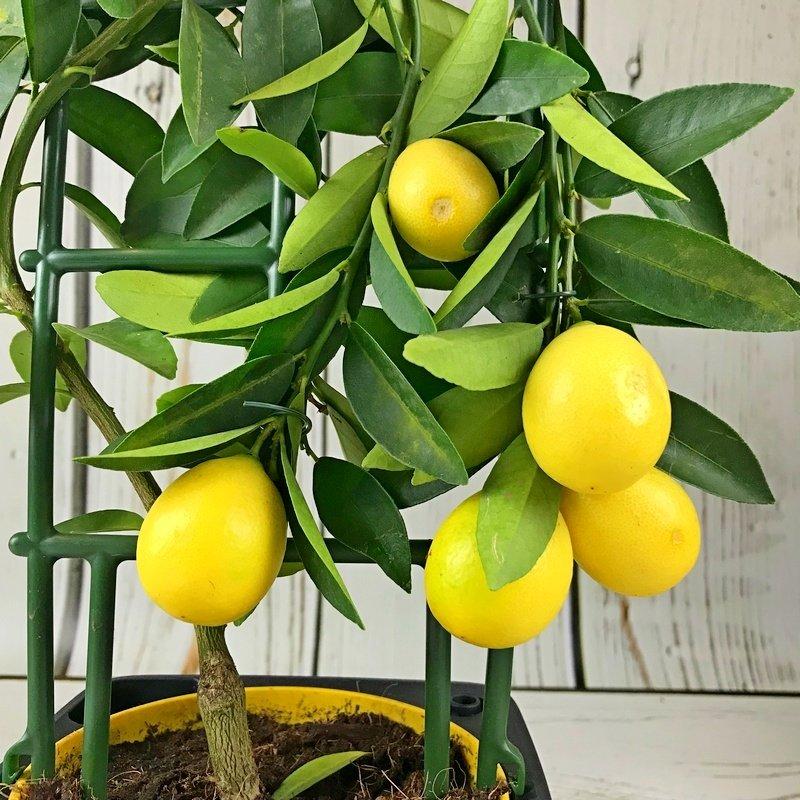 Лимон домашний: как ухаживать за цитрусом без ошибок?