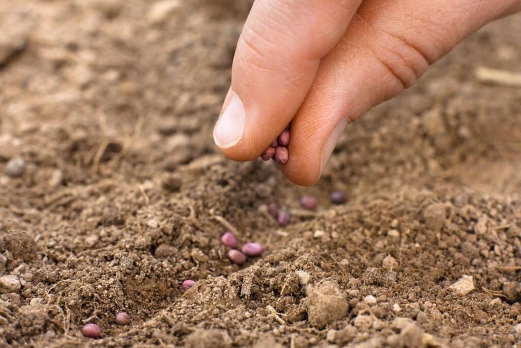 Растение пастернак: польза и вред, когда садить, выращивание и уход + фото