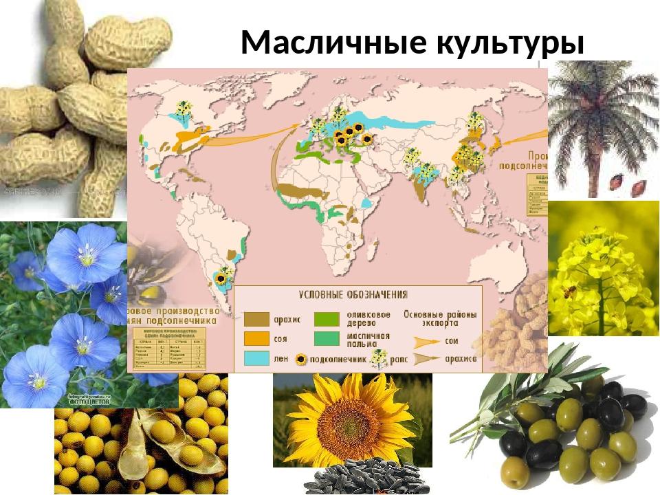 Сахарная кукуруза: посадка, лучшие сорта, выращивание на поле