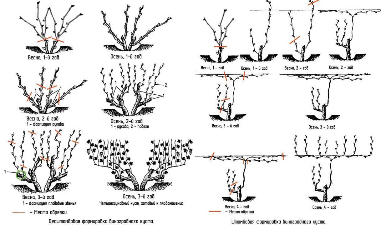 Виноград на урале - посадка и выращивание в открытом грунте, сорта для начинающих