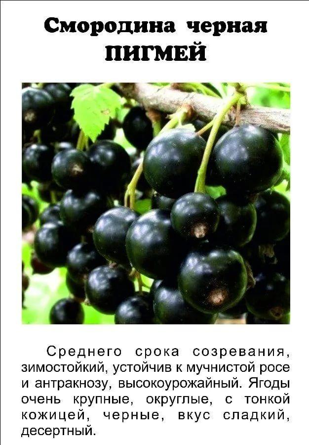 Чёрная смородина пигмей: описание и характеристика сорта, достоинства и недостатки, особенности посадки и ухода + фото и отзывы