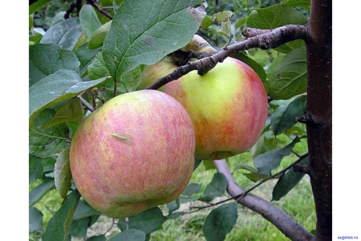 Яблони для подмосковья: лучшие сорта с описанием