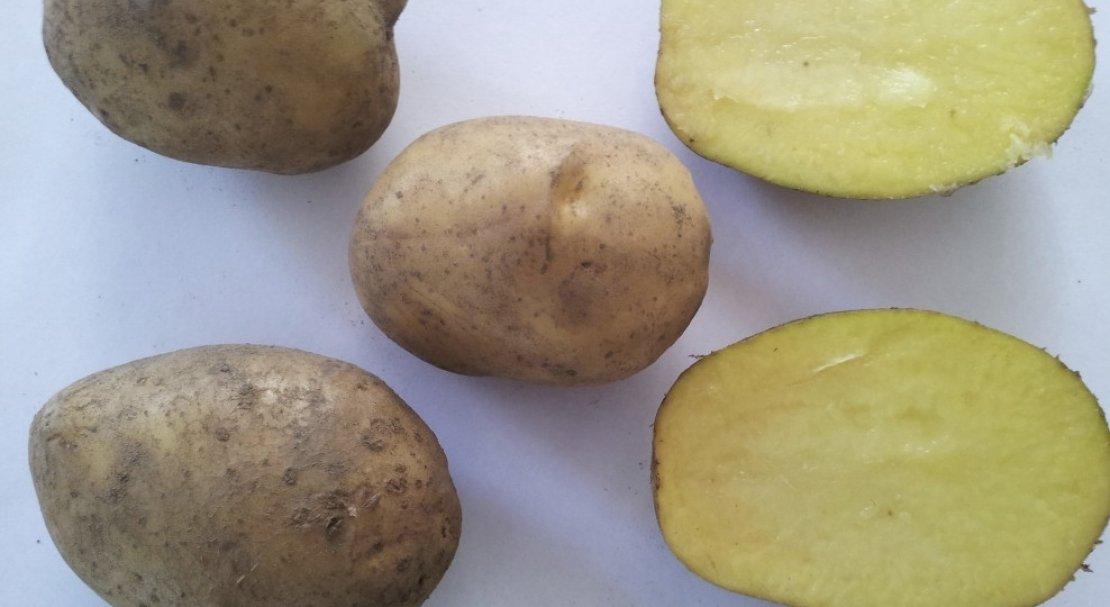 Картофель «бриз» описание сорта, фото, отзывы