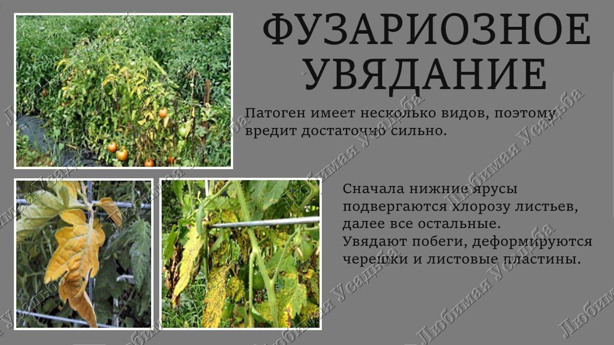 Лечение фузариозного увядания томатов препаратами и народными средствами